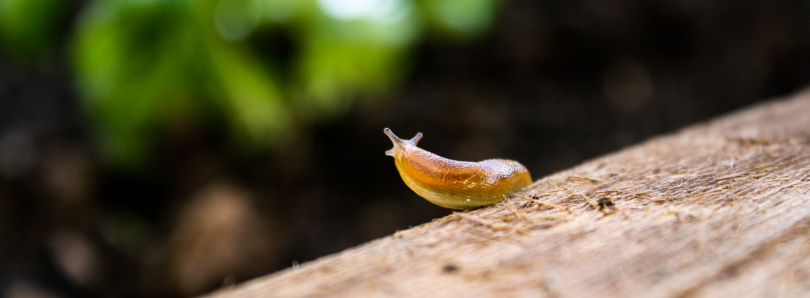 Slug Surveys the garden-1