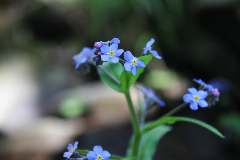 forget me not-1